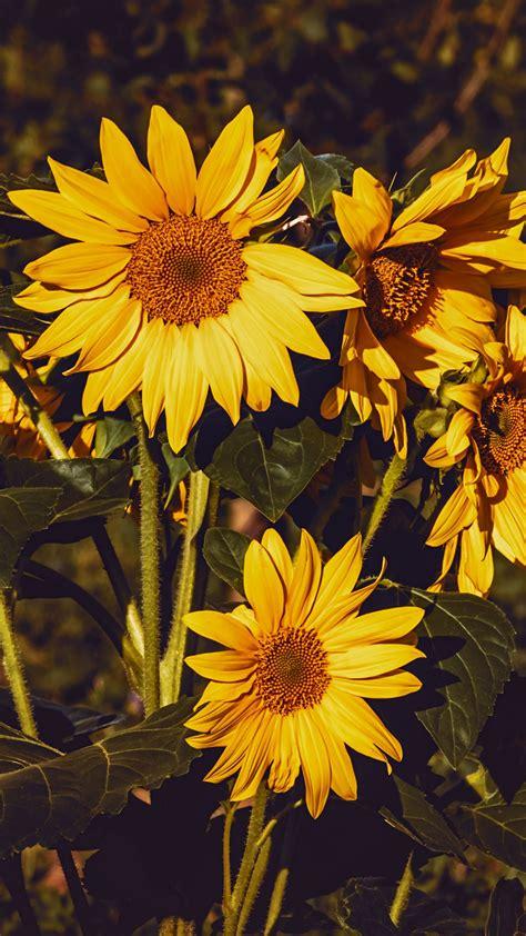 wallpaper  sunflower flowers summer