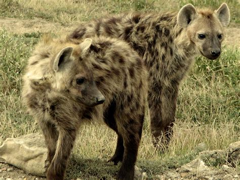 african safari animals beautiful animals safaris dangerous hyenas limping uphill