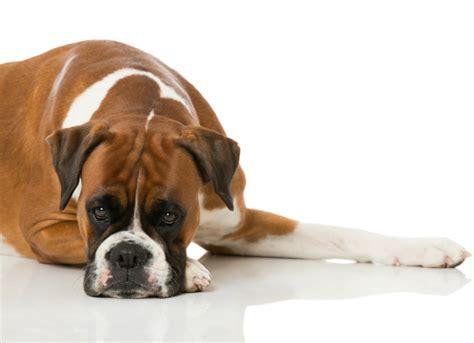 congestive failure dogs congestive failure symptoms petmd