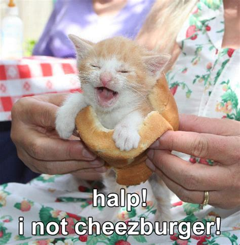 Cheezburger Cat Meme - halp i not cheezburger meme cats