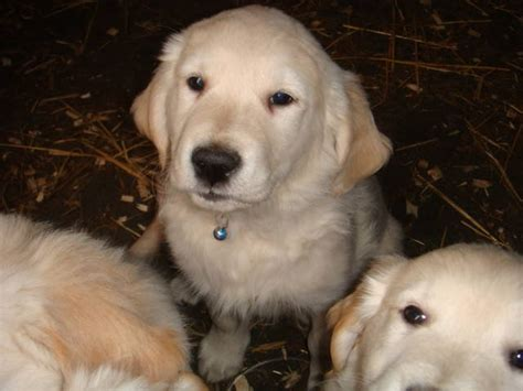 golden retriever puppies for sale ireland golden retriever puppies for sale for sale adoption from sixmilebridge clare adpost