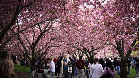 cherry blossom botanical garden 13 places to view cherry blossom trees in nyc untapped