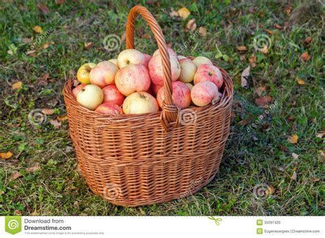 Garden Harvest Basket by Colorful Apples Lay In The Basket On Grass Stock Photo Image 35097420