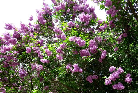 when to prune lilac bushes