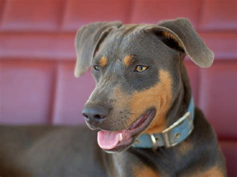 blue lacy blue lacy dogs