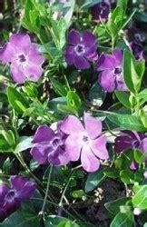 pervinca fiore pervinca
