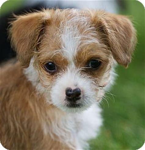 chihuahua shih tzu mix information pixie adopted puppy providence ri shih tzu chihuahua mix