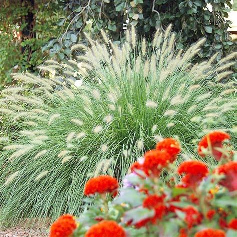 17 top ornamental grasses gardens a well and beautiful