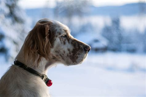 setter breed of dog english setter dogs breed information omlet