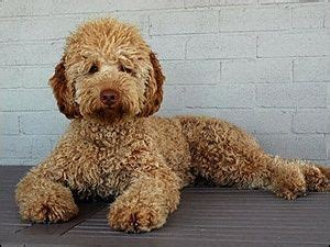 doodle hair types 1000 ideas about goldendoodle grooming on