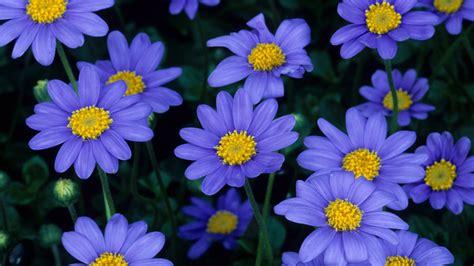 photos of flowers aster flower wallpaper