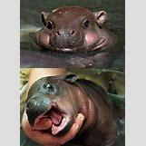 Hippopotamus Face In Water   632 x 884 jpeg 81kB