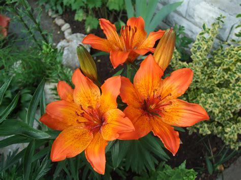 specie di fiori fiori di montagna le specie pi 249 facili da coltivare