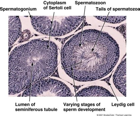 testis cross section histology home page
