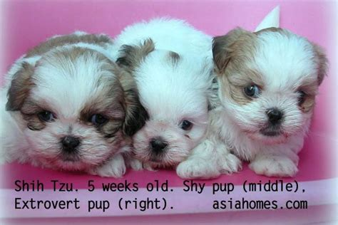 shih tzu for sale sacramento micro tiny teacup shih tzu free teacup shih tzu puppies for sale sacramento