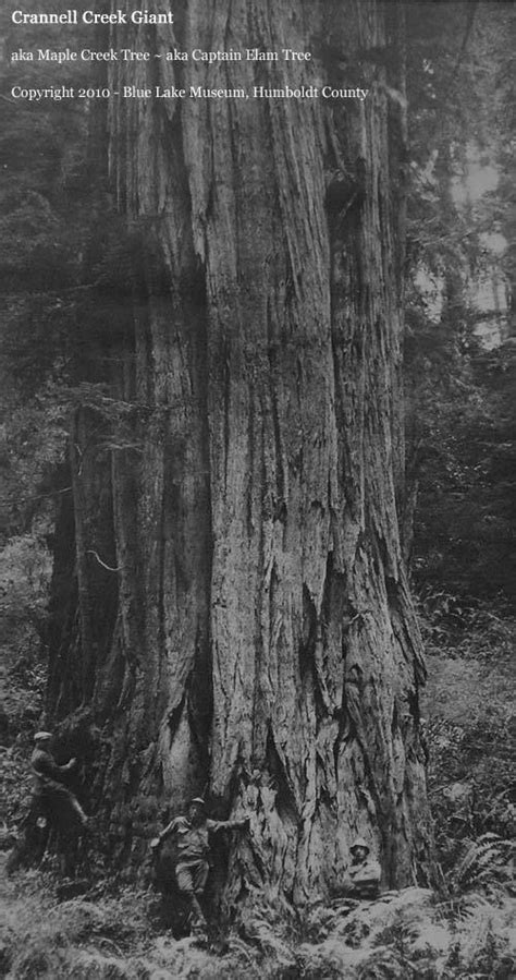 Here's a photo of the Crannell Creek Giant Coast Redwood