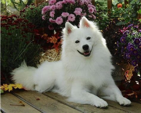 american dogs american eskimo hd wallpapers high definition free background