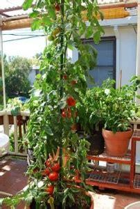 come coltivare i pomodori in vaso come coltivare i pomodori orto e vaso avr 242 cura di te