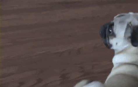 dramatic pug pin pug animated gif gifs gifsoupcom on