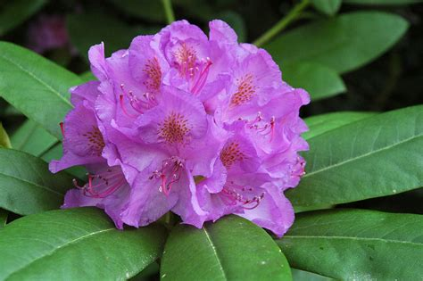 hirsutum info rhododendron hybrid catawbiense grandiflorum high resolution picture