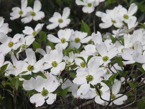 dogwood tree in bloom beautiful plants pinterest