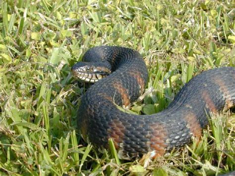Search Ta Fl Florida Banded Water Snake