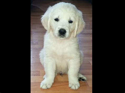 golden retrievers for sale illinois golden retrievers for sale