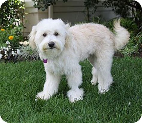 havanese and poodle mix jerome adopted newport ca poodle standard havanese mix