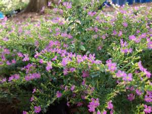 List Of Annual Flowers With Pictures - mexican heather car interior design
