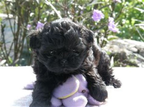 shih poo puppies for sale in va 302 found