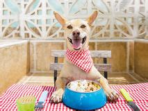 chihuahua dog eating food from a bowl royalty free stock hungry dog with food bowl stock photo image 91261522