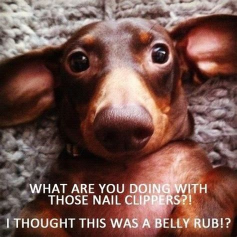 Funny Dachshund Memes - dachshund memes pinned by christina doxie love