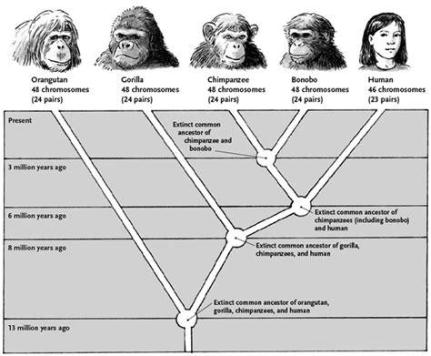human evolution flowchart j caterino philosophy of caitlin