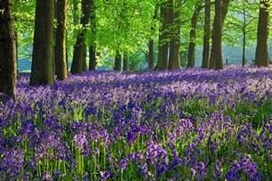 bluebell forest uk128 bluebells bloom at dockey wood ashridge
