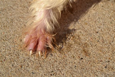 bee sting on paw bee sting paw