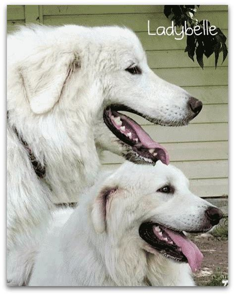 great pyrenees haircuts great pyrenees hair cuts great pyrenees of luhrig pictures