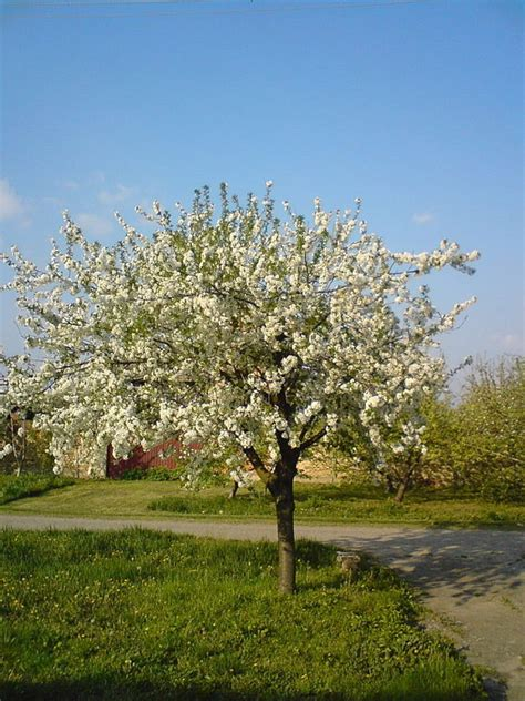 omeka ctl uvm tree profiles sour cherry tree overview