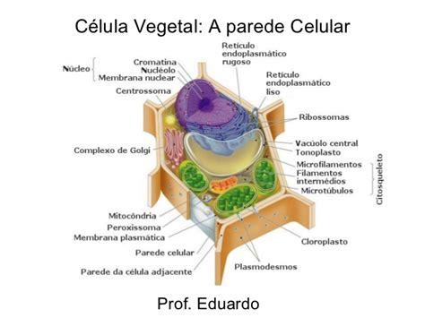 fotos de celulas animais c 233 lula vegetal parede celul 243 sica