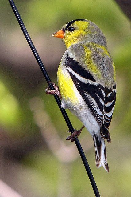 american goldfinch wild birds pinterest