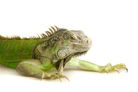 Iguana Lighting by Nutritional Secondary Hyperparathyroidism In Reptiles