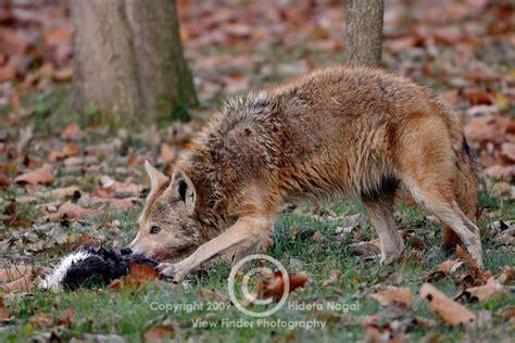 coyote in my backyard ate the neighborhood cat warning