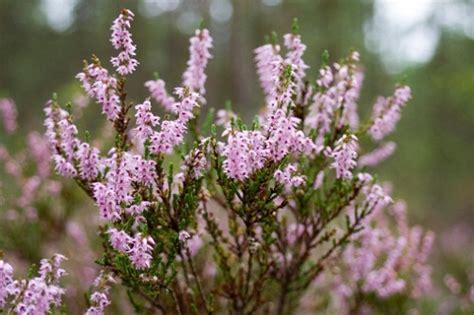 fiori erica significato dei fiori l erica pollicegreen
