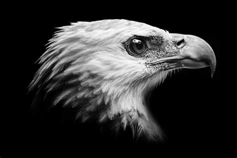 wallpaper black eagle wild eagle photos hd animal wallpapers
