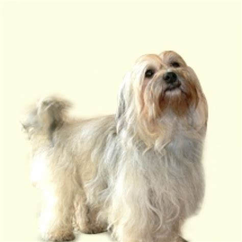 havanese nj havanese profile breeds of small dogs breeds picture