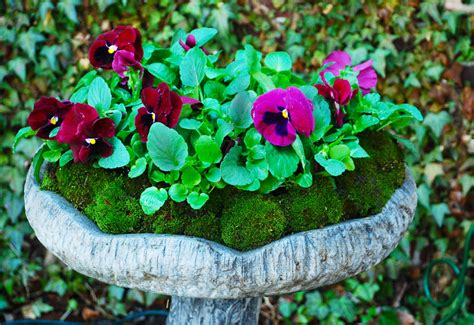 Cushion Moss And Pansy Project Garden Walk Garden Talk Pansy Garden Ideas