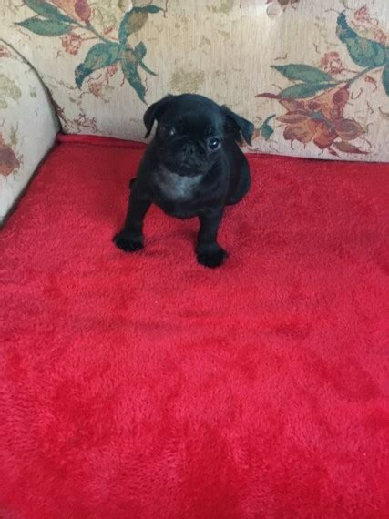 pug puppies for sale dundee black pug pups dundee angus pets4homes