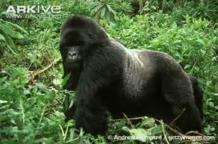 African Lion v Eastern Gorilla Silverback
