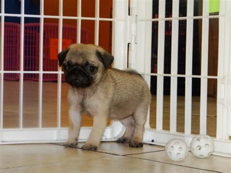 pug puppies atlanta gorgeous fawn pug puppies for sale near atlanta ga at atlanta columbus johns creek