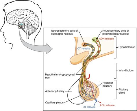 hypothalamus diagram the pituitary gland and hypothalamus anatomy and