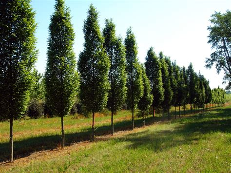 thin tree blue heron landscape design sourwood